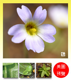 台灣蝕-櫻葉捕蟲堇-Pinguicula primuliflora_預覽.jpg