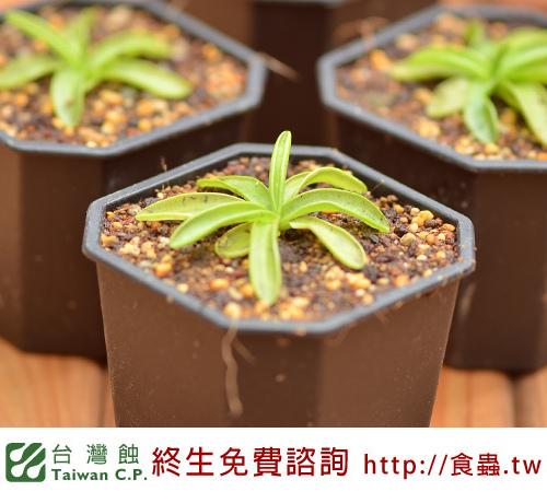 台灣蝕-櫻葉捕蟲堇-Pinguicula primuliflora_03.jpg