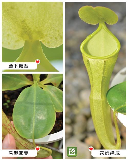 台灣蝕-風鈴陳氏豬籠草-N. campanulata x chaniana_02.jpg
