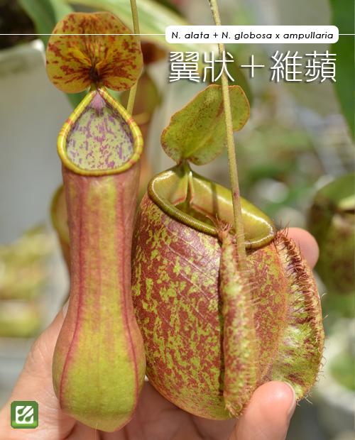台蝕團購-翼狀紅+維京蘋果豬籠草_01.jpg