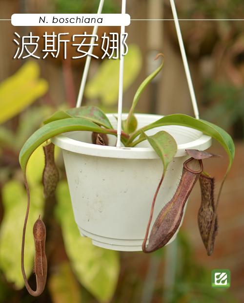台灣蝕-波斯安娜豬籠草-N. boschiana_01.jpg