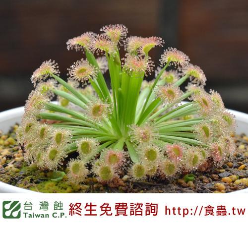 台灣蝕-黃孔雀毛氈苔-D.fulva_03.jpg