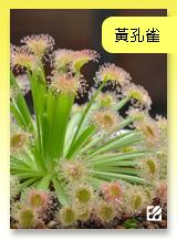 台灣蝕-黃孔雀毛氈苔.jpg