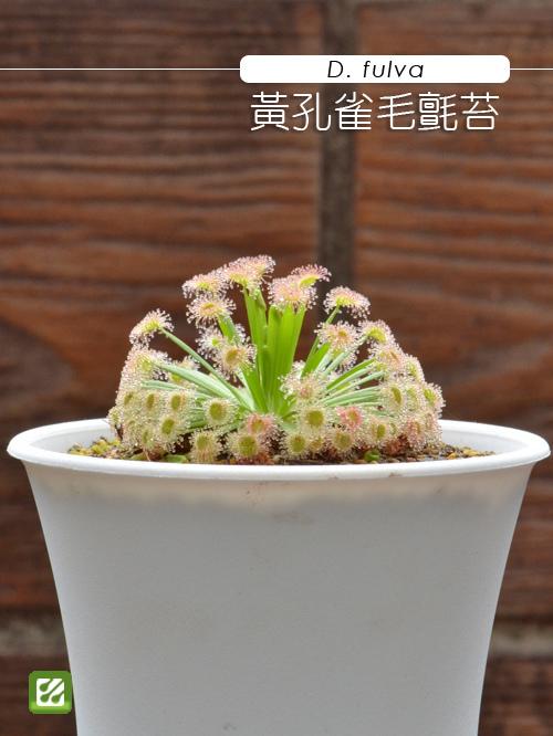 台灣蝕-黃孔雀毛氈苔-D.fulva_01.jpg