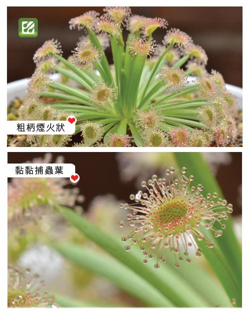 台灣蝕-黃孔雀毛氈苔-D.fulva_02.jpg