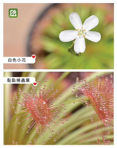 台灣蝕-大x迪毛氈苔-D.falconeri x dilatato-petiolaris_02.jpg