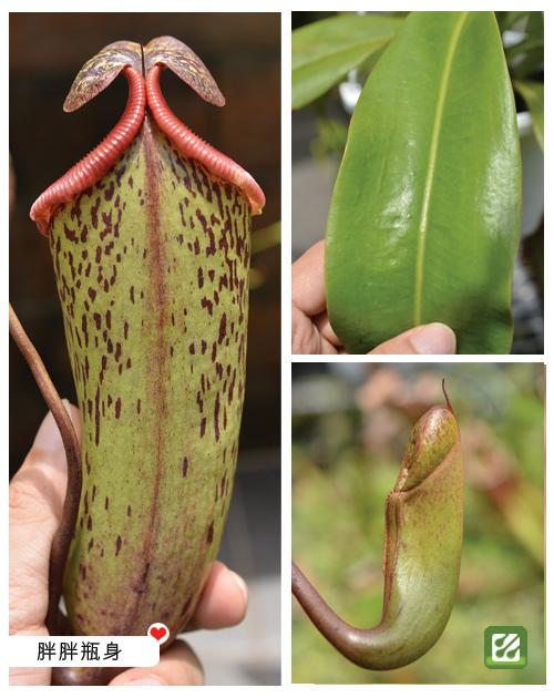 台灣蝕-辛布大豬籠草-N. sibuyanensis x maxima_02.jpg