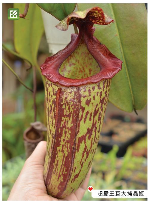 台灣蝕-辛布大豬籠草-N. sibuyanensis x maxima_022.jpg