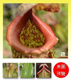 台灣蝕-辛布大豬籠草-N. sibuyanensis x maxima_預覽.jpg