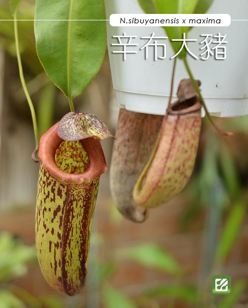 台灣蝕-辛布大豬籠草-N. sibuyanensis x maxima_01.jpg