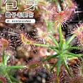 台灣蝕-蠍子毛氈苔-D.-scorpioides-1.jpg