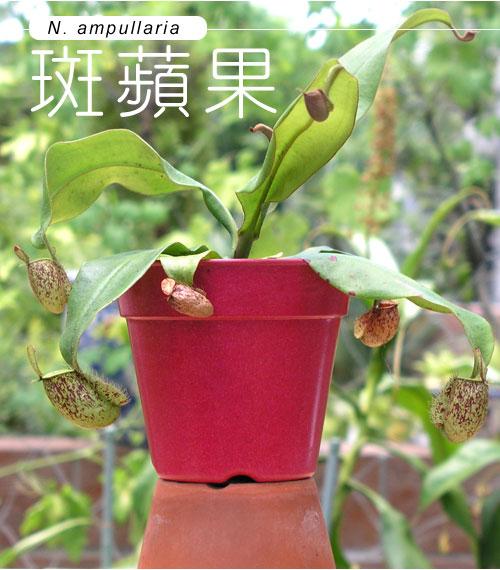 台灣蝕-斑蘋果豬籠草_01.jpg