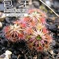 台灣蝕-奧托瑪毛氈苔-D.-allantostigma-1.jpg