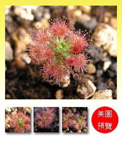 台灣蝕-蘿絲娜迷你毛氈苔-D.-paleacea-subsp.-roseana-預覽.jpg