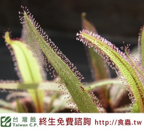 台灣蝕-阿迪露毛氈苔-D.-adelae_03.jpg
