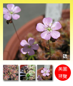 台灣蝕-歐x美毛氈苔-Drosera-occidentalis-x-pulchella-預覽.jpg