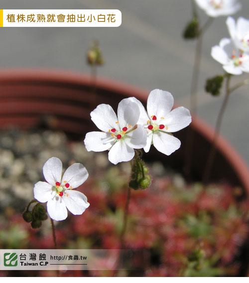 台灣蝕-奧x歐迷你毛氈苔苞芽-D.-allantostigma-x-D.-omissa-2.jpg
