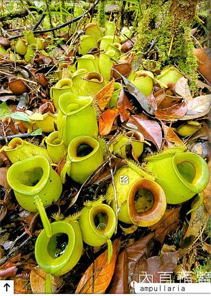 台灣蝕-食蟲書籍-Pitcher-Plants-of-Borneo-內頁預覽_04.jpg