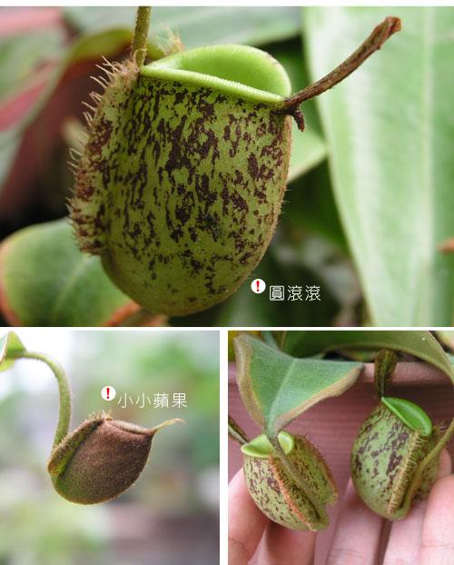 台灣蝕-斑蘋果豬籠草_02.jpg