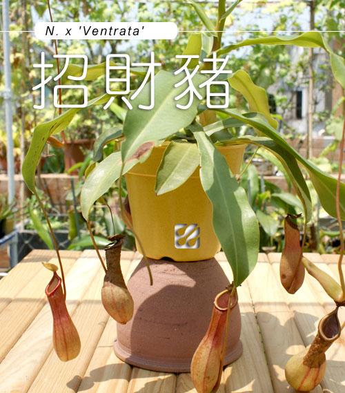台灣蝕-招財豬籠草-N.-x-'Ventrata'_01.jpg
