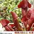 台灣蝕-紫翼瓶子草-S.-purpurea-hybrid_03.jpg