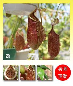 台灣蝕-葫萊豬籠草-N. ventricosa x rafflesiana