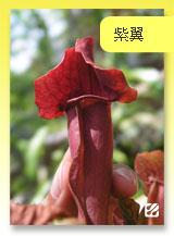 台灣蝕-紫翼瓶子草.jpg