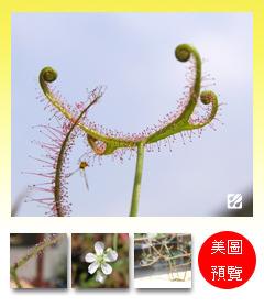 台灣蝕-叉葉毛氈苔-D.-binata_預覽