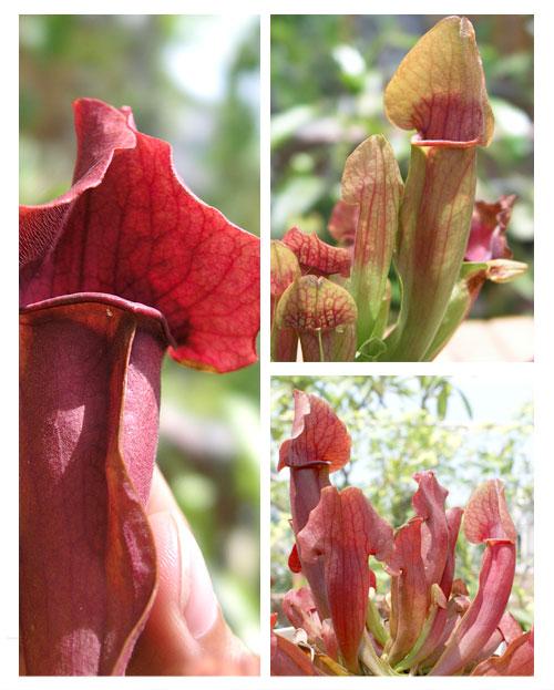 台灣蝕-園藝紫瓶子草-S.-purpurea-hybrid_02.jpg
