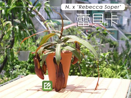 蕾貝卡豬籠草-01.jpg