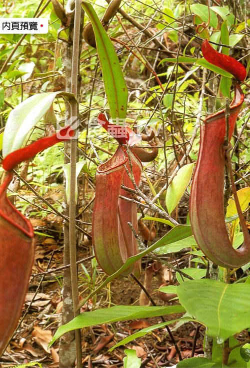 台灣蝕-食蟲書籍-Pitcher-Plants-of-Peninsular-Malaysia-內頁02.jpg