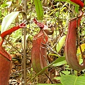 台灣蝕-食蟲書籍-Pitcher-Plants-of-Peninsular-Malaysia-內頁02.jpg