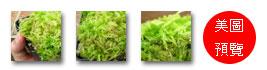 台灣蝕-鮮活水苔