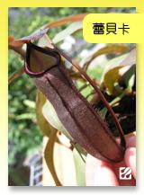 台灣蝕-蕾貝卡豬籠草.jpg