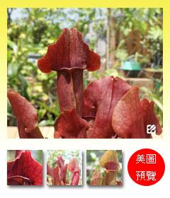 台灣蝕-園藝紫瓶子草-S.-purpurea-hybrid_預覽