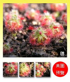 台灣蝕-崔裘凱莉迷你毛氈苔-D.-paleacea-subsp.-trichocaulis-預覽.jpg