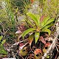 台灣蝕-食蟲書籍-Pitcher-Plants-of-Borneo-內頁預覽_06.jpg
