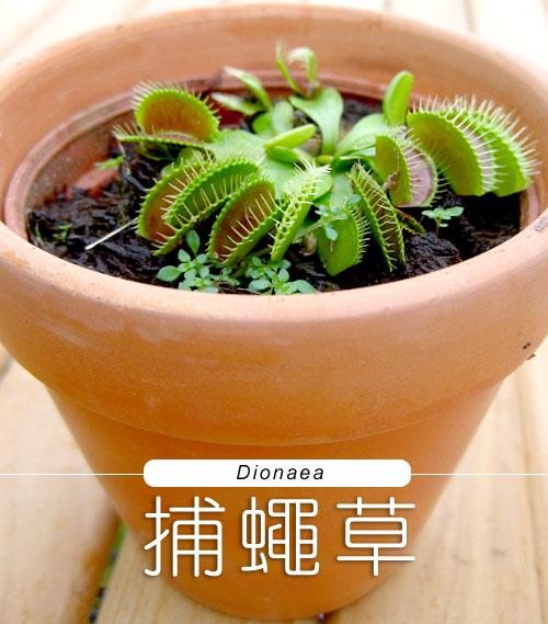 台灣蝕-捕蠅草-Dionaea_01.jpg