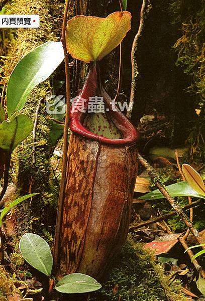 台灣蝕-食蟲書籍-Pitcher-Plants-of-Peninsular-Malaysia-內頁04.jpg