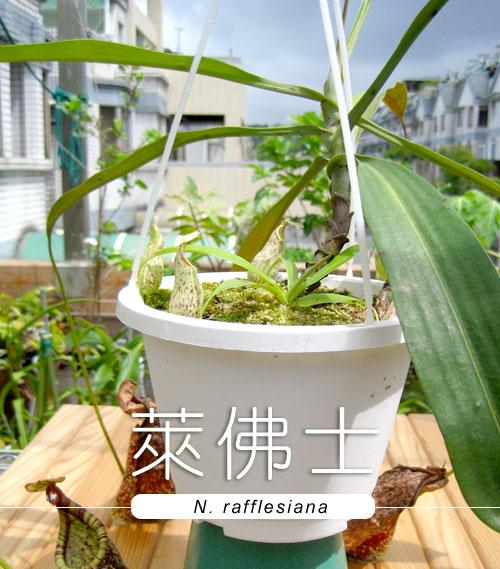 台灣蝕-萊佛士豬籠草-N. rafflesiana_01.jpg