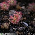 台灣蝕-蘿絲娜迷你毛氈苔-D.-paleacea-subsp.-roseana-2.jpg