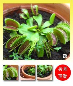 台灣蝕-捕蠅草-Dionaea_預覽.jpg