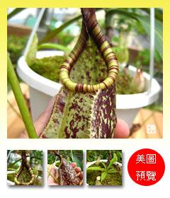 台灣蝕-萊佛士豬籠草-N. rafflesiana預覽.jpg