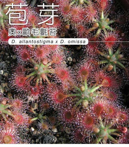 台灣蝕-奧x歐迷你毛氈苔苞芽-D.-allantostigma-x-D.-omissa-1.jpg