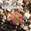 台灣蝕-蘿絲娜迷你毛氈苔-D.-paleacea-subsp.-roseana-1.jpg