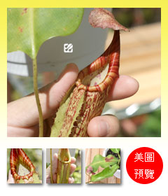 台灣蝕-阿拉蒂豬籠草-N.x Allardii