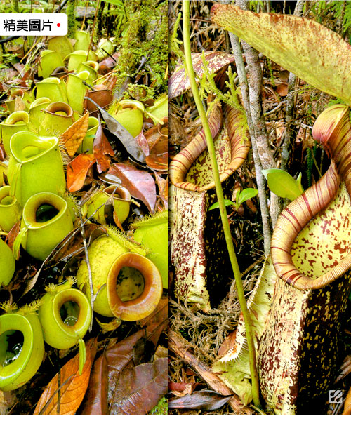 台灣蝕-食蟲書籍-Pitcher-Plants-of-Borneo_03.jpg