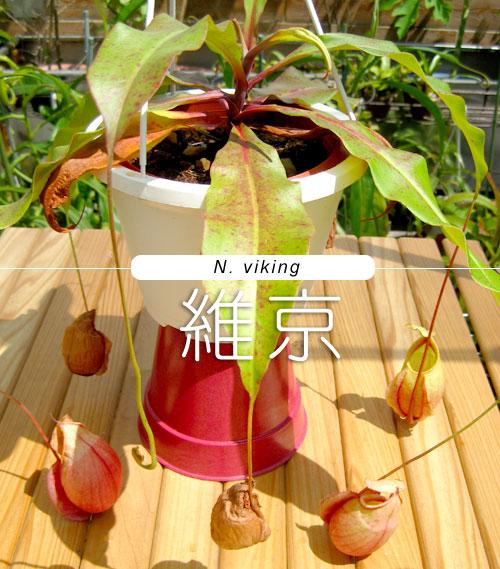 台灣蝕-維京豬籠草-N.-viking_01.jpg