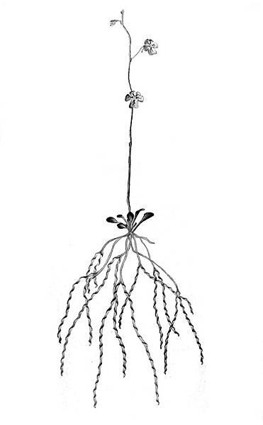 (Genlisea violacea).jpg