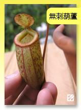 台灣蝕-無x葫豬籠草.jpg